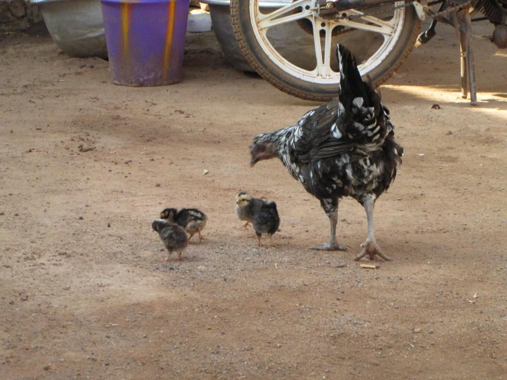 Poule et ses poussins dans la cour, les poussins ont grandi depuis, je vais devoir refaire une photo