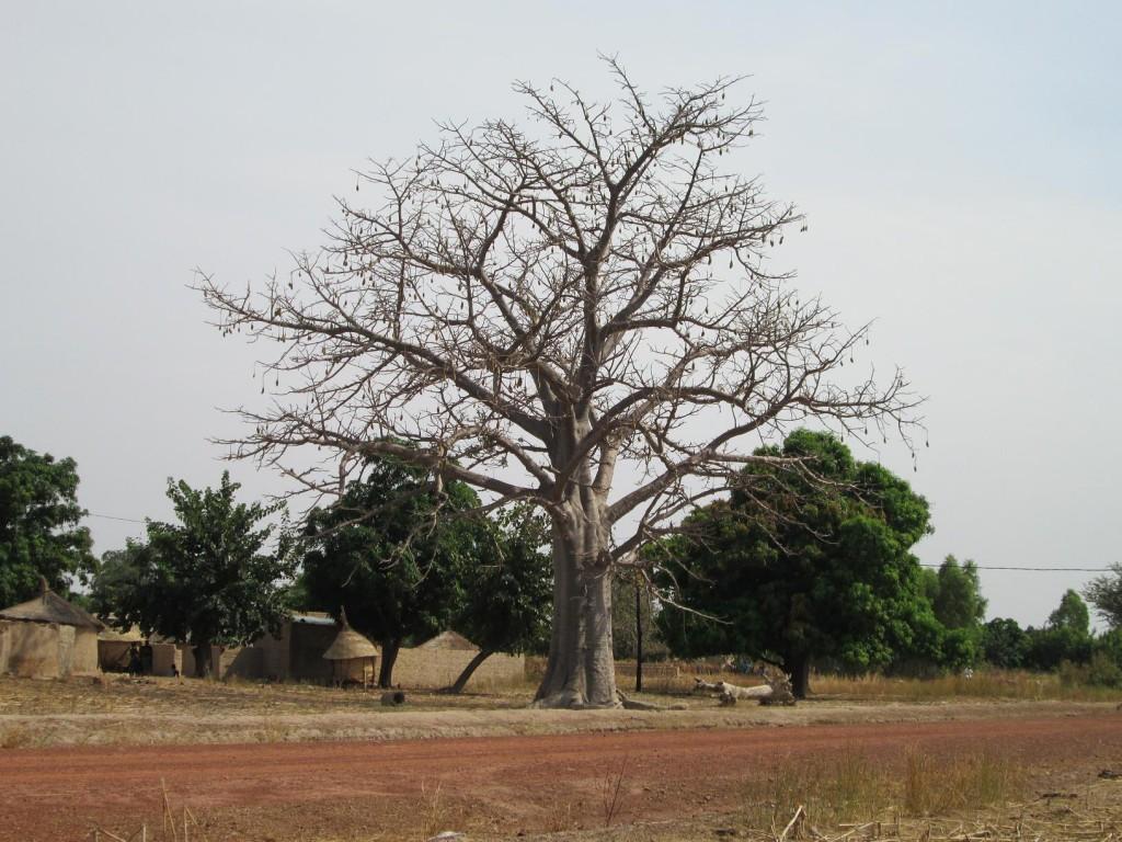 Le baobab et ses fruits