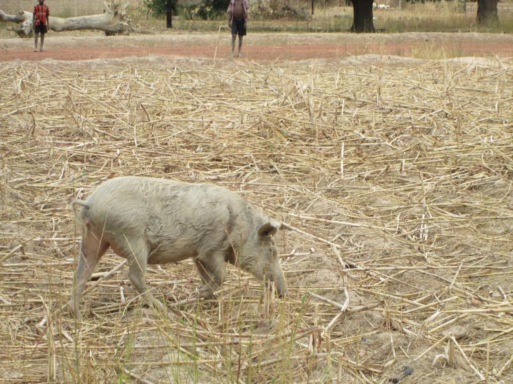 cochon domestique dans un champ