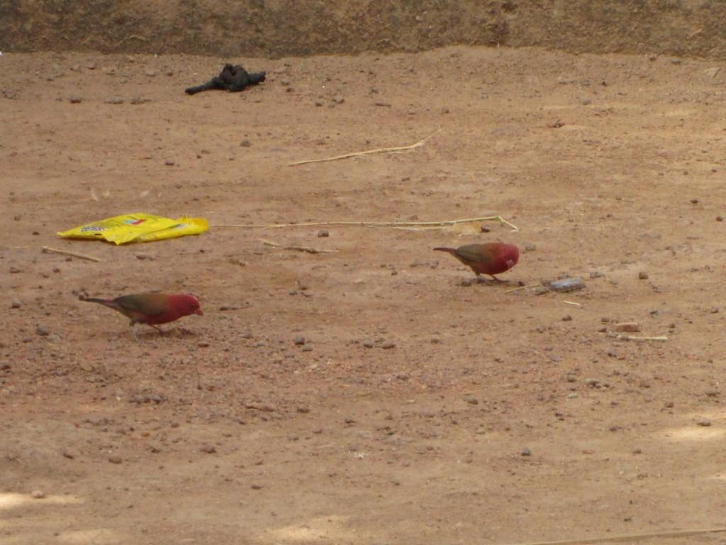 Petits oiseaux rouges dans la cour
