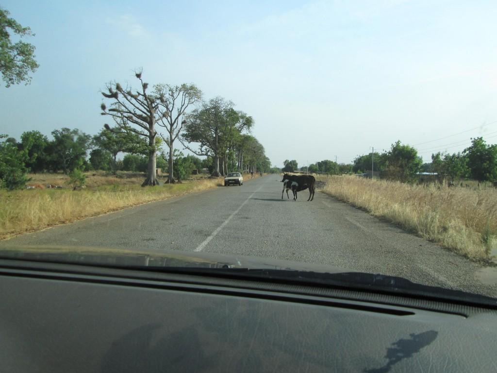 Vache et veau sur la route part1