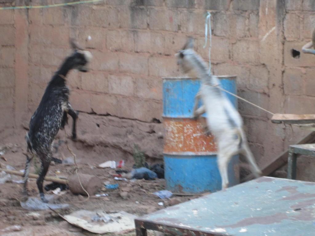 Les jeunes boucs se battent dans la cour