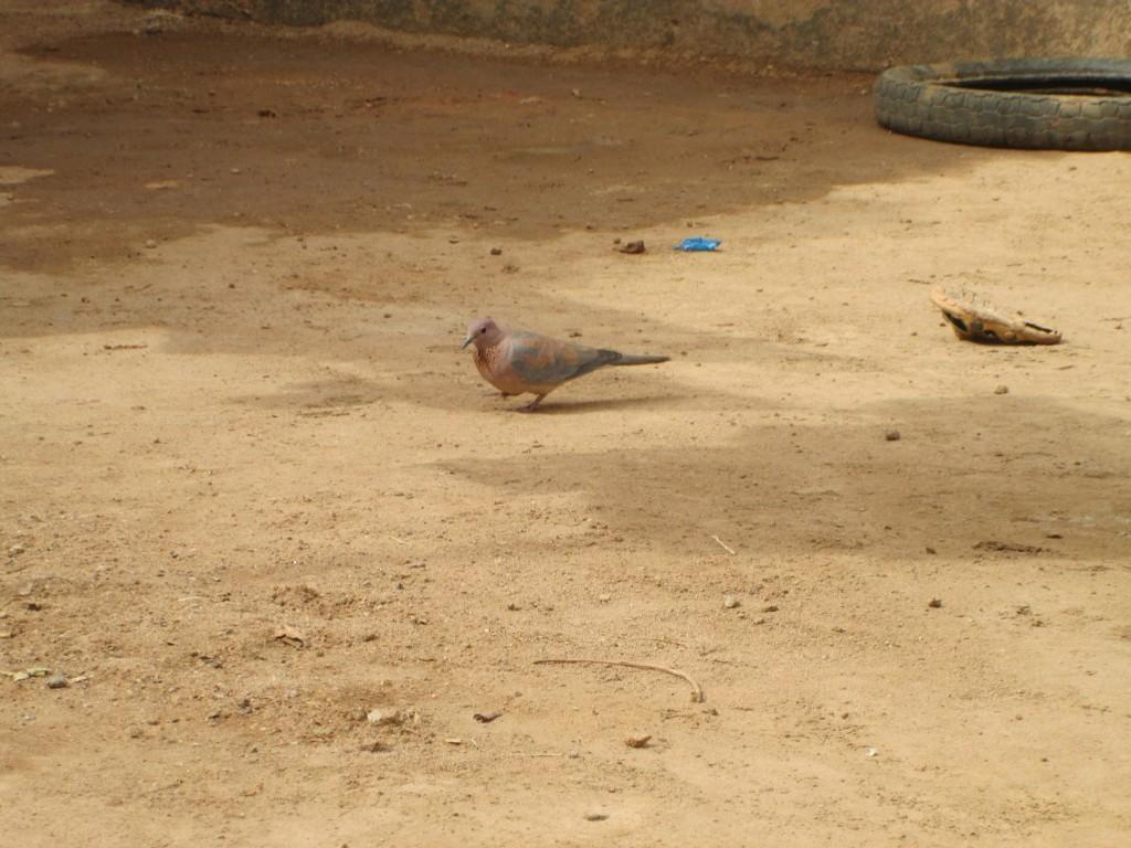 Une tourterelle africaine dans la cour