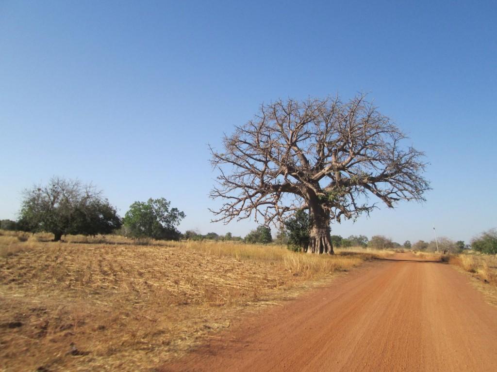 Le baobab sur le bord de la route